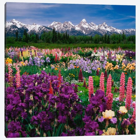 Iris & Lupine Field, Grand Teton National Park, Teton County, Wyoming, USA Canvas Print #AJO10} by Adam Jones Art Print