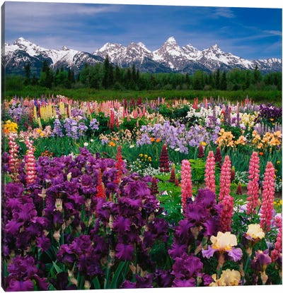 Iris & Lupine Field, Grand Teton National Park, Teton County, Wyoming, USA Canvas Print #AJO10