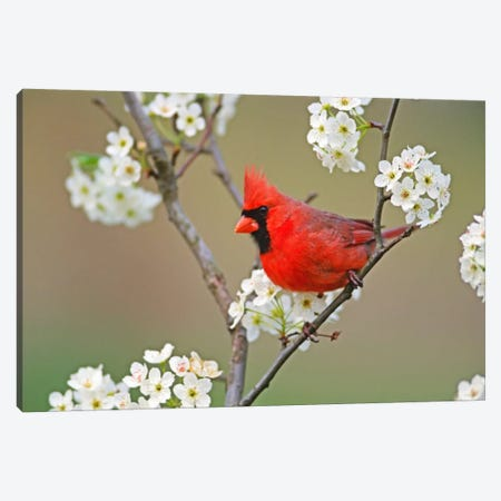 Male Northern Cardinal Among Pear Tree Blossoms, Kentucky, USA Canvas Print #AJO11} by Adam Jones Canvas Print