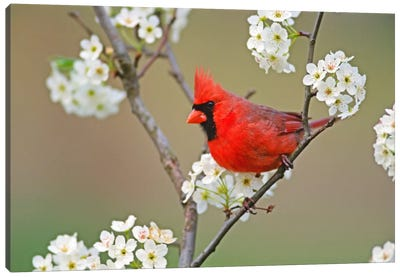 Male Northern Cardinal Among Pear Tree Blossoms, Kentucky, USA Canvas Art Print