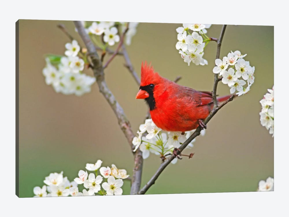 Male Northern Cardinal Among Pear Tree Blossoms, Kentucky, USA by Adam Jones 1-piece Canvas Print