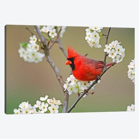 Male Northern Cardinal Among Pear Tree Blossoms, Kentucky, USA Canvas Print #AJO11} by Adam Jones Canvas Print