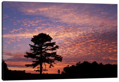 Pine Tree Silhouette At Sunrise, Cumberland Gap National Historic Park, Kentucky, USA Canvas Art Print