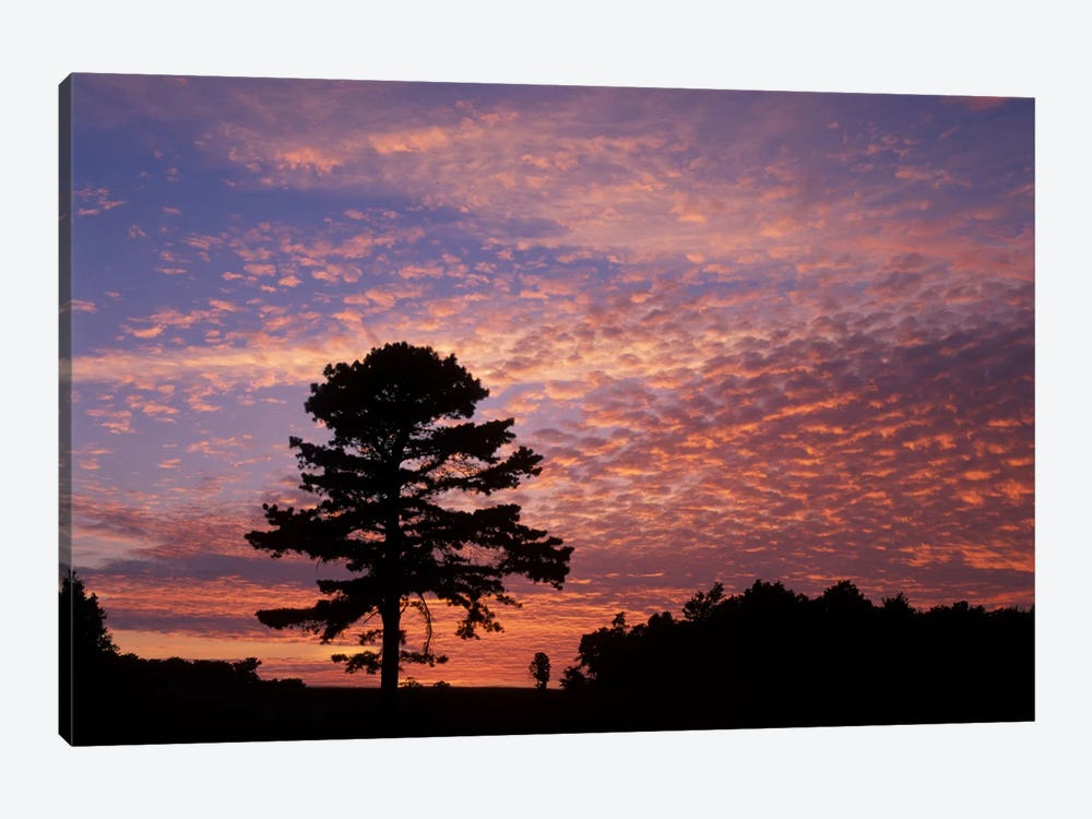 Pine Tree Silhouette At Sunrise, Cumberland Gap National Historic Park, Kentucky, USA 1-piece Canvas Art