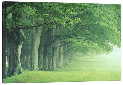 Stately Row Of Trees, Kentucky, USA Canvas Print #AJO15