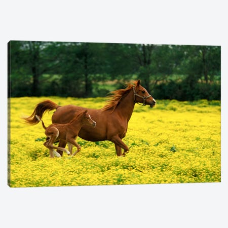 Arabian Foal And Mare In A Field Of Buttercups, Louisville, Jefferson County, Kentucky, USA Canvas Print #AJO17} by Adam Jones Canvas Wall Art