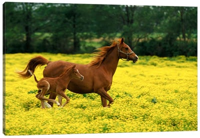 Arabian Foal And Mare In A Field Of Buttercups, Louisville, Jefferson County, Kentucky, USA Canvas Art Print