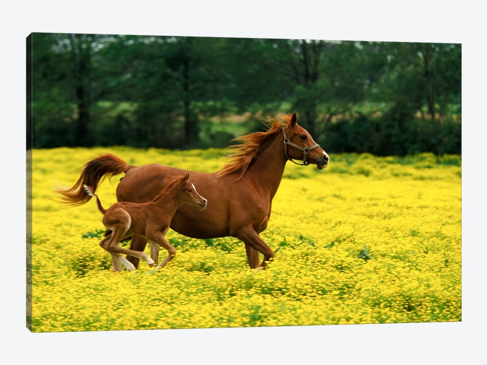 Arabian Foal And Mare In A Field Of Buttercups, Louisville, Jefferson County, Kentucky, USA by Adam Jones 1-piece Canvas Art Print