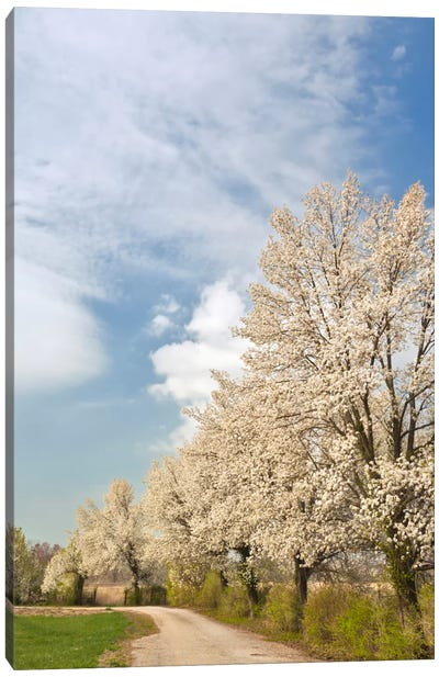 Crabapple Trees With White Blooms, Louisville, Jefferson County, Kentucky, USA Canvas Print #AJO20
