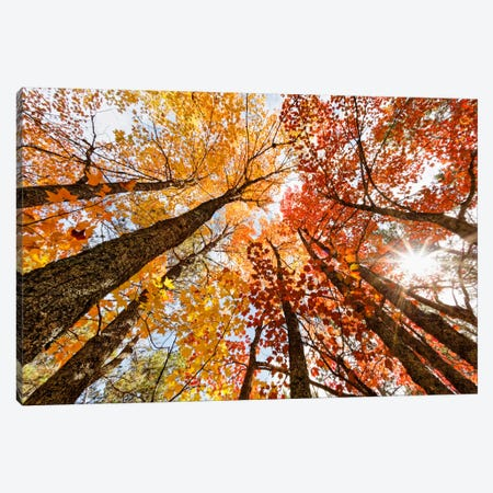 Low-Angle Autumn View Of Maple Trees, Upper Peninsula, Michigan, USA Canvas Print #AJO22} by Adam Jones Canvas Art