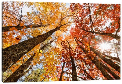 Low-Angle Autumn View Of Maple Trees, Upper Peninsula, Michigan, USA Canvas Art Print