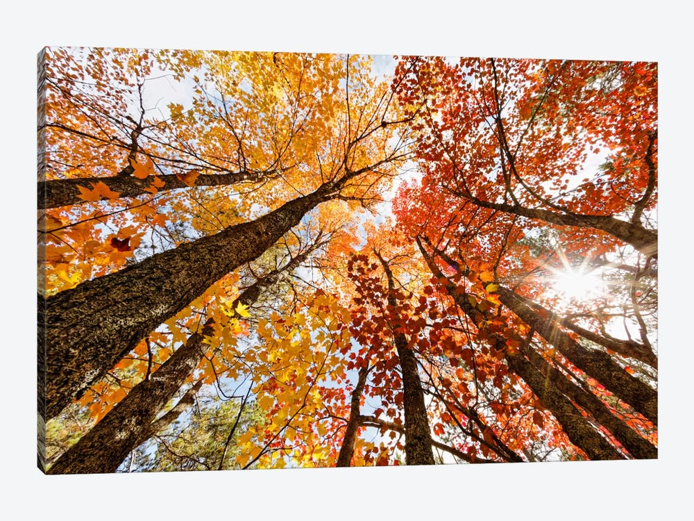 Low-Angle Autumn View Of Maple Trees, Upper Peninsula, Michigan, USA by Adam Jones 1-piece Art Print