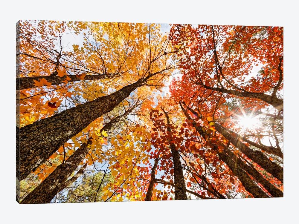 Low-Angle Autumn View Of Maple Trees, Upper Peninsula, Michigan, USA by Adam Jones 1-piece Art Print