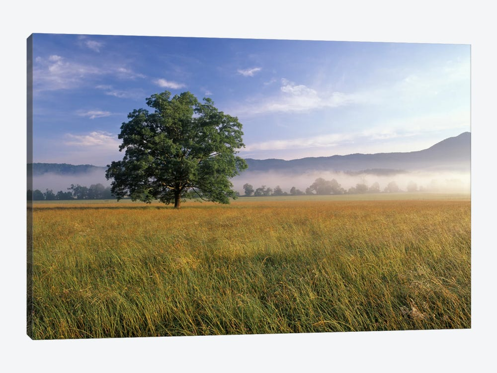 Lone Bur Oak Tree With A Foggy Background, Cades Cove, Great Smoky Mountains National Park, Tennessee, USA by Adam Jones 1-piece Canvas Art Print