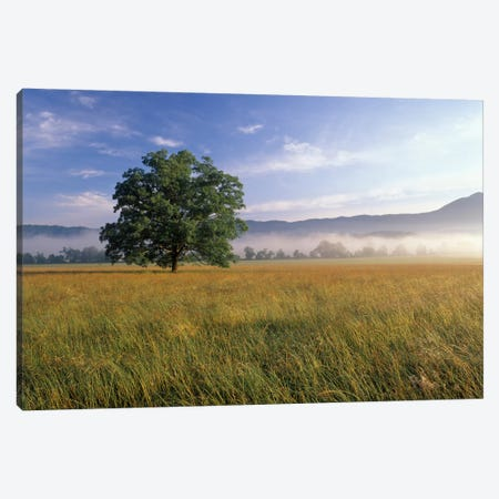 Lone Bur Oak Tree With A Foggy Background, Cades Cove, Great Smoky Mountains National Park, Tennessee, USA Canvas Print #AJO24} by Adam Jones Art Print