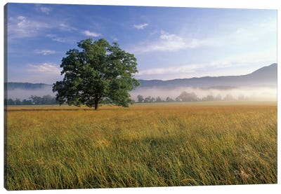 Lone Bur Oak Tree With A Foggy Background, Cades Cove, Great Smoky Mountains National Park, Tennessee, USA Canvas Art Print