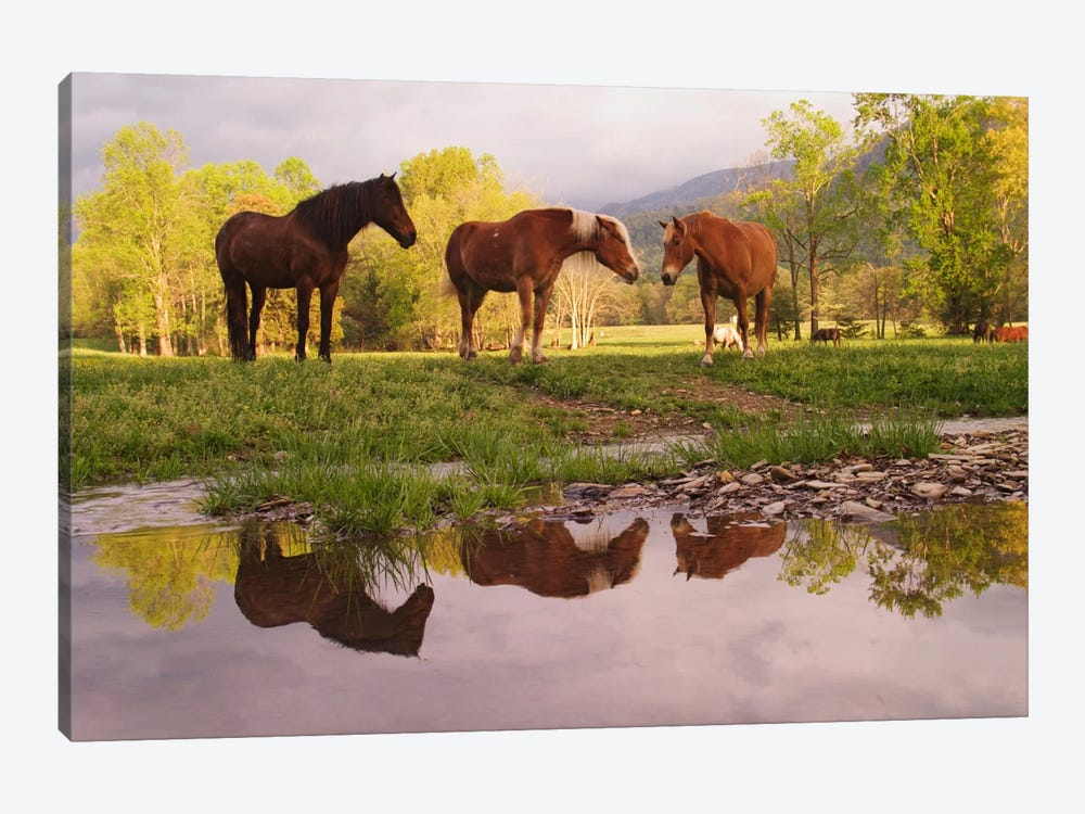 Wild Horses, Cades Cove, Great Smoky Mountains National Park, Tennessee, USA 1-piece Canvas Artwork