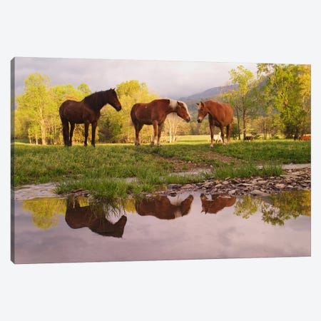 Wild Horses, Cades Cove, Great Smoky Mountains National Park, Tennessee, USA Canvas Print #AJO25} by Adam Jones Art Print
