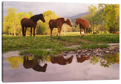 Wild Horses, Cades Cove, Great Smoky Mountains National Park, Tennessee, USA Canvas Art Print