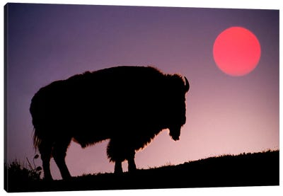 Bison (American Buffalo) Silhouette At Sunrise, Yellowstone National Park, Wyoming, USA Canvas Art Print