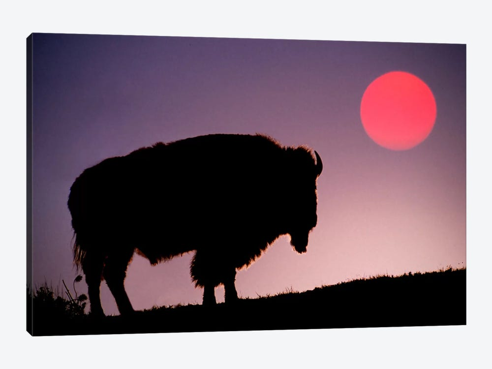 Bison (American Buffalo) Silhouette At Sunrise, Yellowstone National Park, Wyoming, USA by Adam Jones 1-piece Canvas Wall Art
