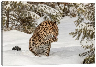 Amur Leopard In Winter I Canvas Art Print