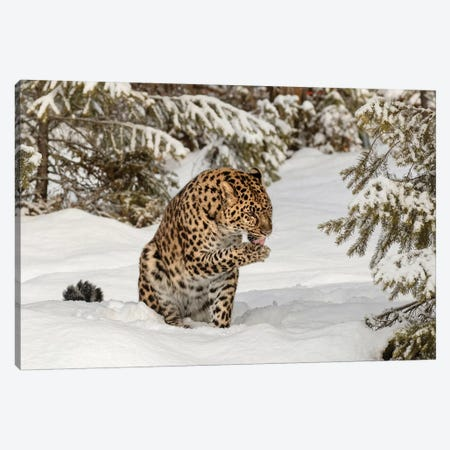 Amur Leopard In Winter I Canvas Print #AJO33} by Adam Jones Canvas Print