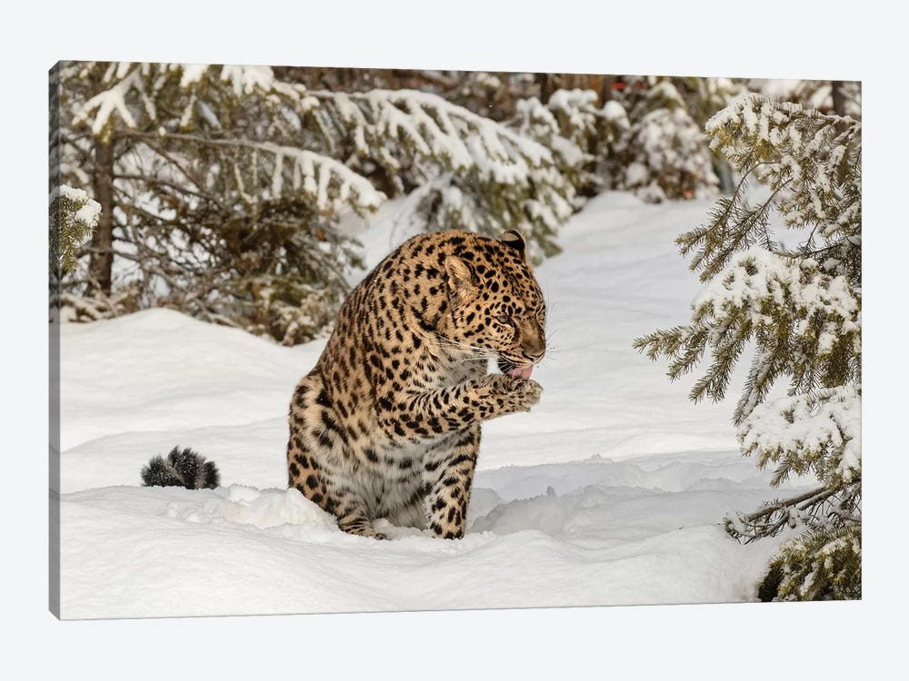 Amur Leopard In Winter I by Adam Jones 1-piece Art Print