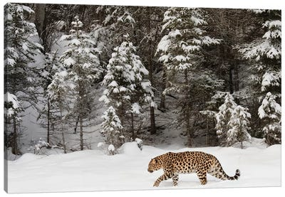 Amur Leopard In Winter II Canvas Art Print