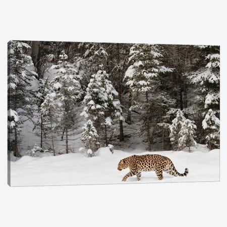 Amur Leopard In Winter II Canvas Print #AJO34} by Adam Jones Canvas Art