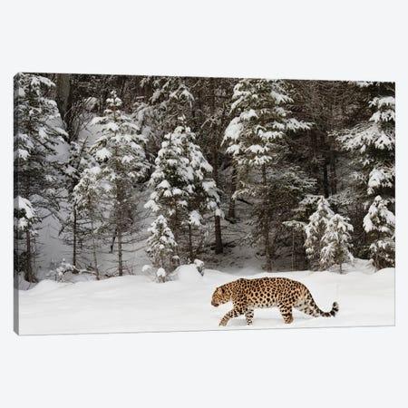 Amur Leopard In Winter II Canvas Print #AJO34} by Adam Jones Canvas Art