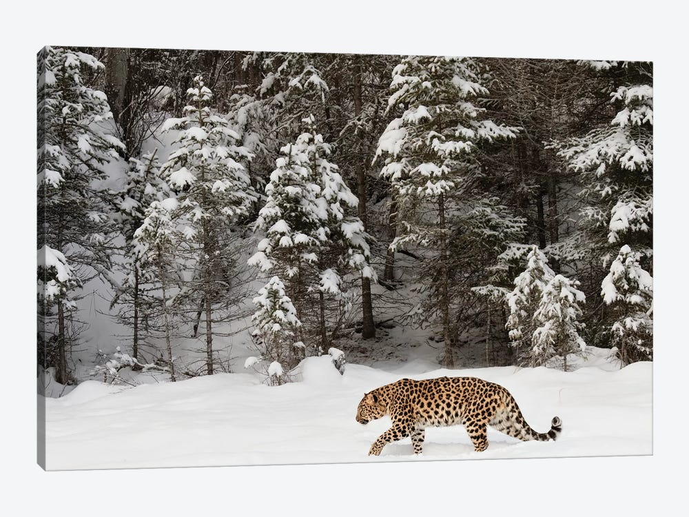 Amur Leopard In Winter II by Adam Jones 1-piece Canvas Wall Art