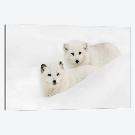 Arctic Fox In Snow, Montana I Canvas Print #AJO35} by Adam Jones Canvas Artwork