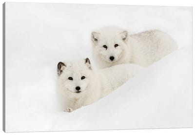 Arctic Fox In Snow, Montana I Canvas Art Print