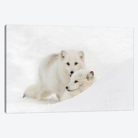 Arctic Fox In Snow, Montana, Vulpes Fox. Canvas Print #AJO36} by Adam Jones Canvas Art