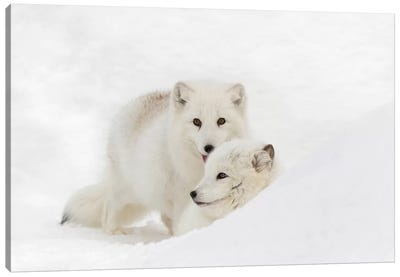Arctic Fox In Snow, Montana, Vulpes Fox. Canvas Art Print