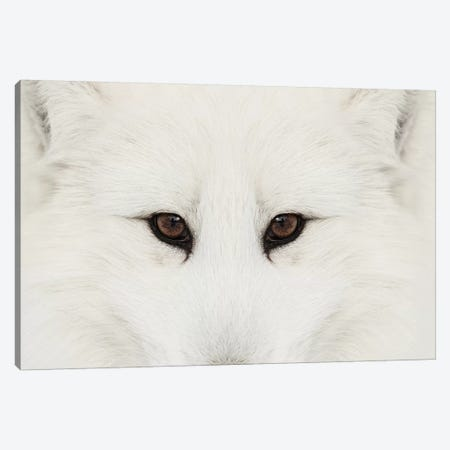 Arctic Fox In Snow, Montana II Canvas Print #AJO37} by Adam Jones Canvas Artwork