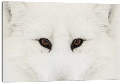 Arctic Fox In Snow, Montana II Canvas Art Print