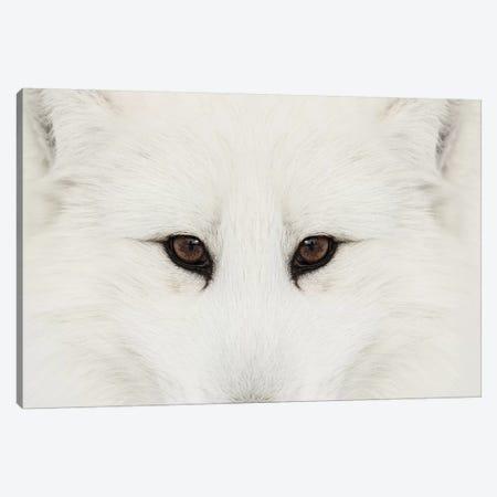 Arctic Fox In Snow, Montana II 3-Piece Canvas #AJO37} by Adam Jones Canvas Artwork