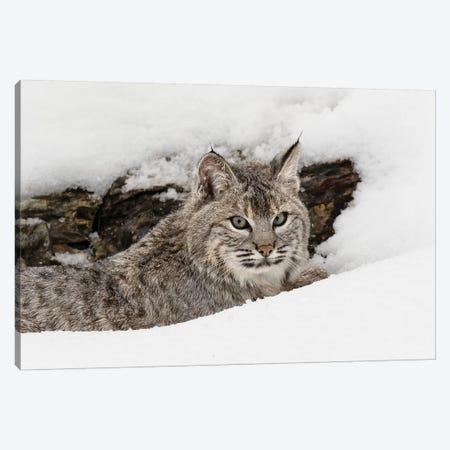 Bobcat in snow, Montana Canvas Print #AJO44} by Adam Jones Canvas Art Print