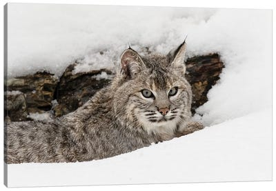 Bobcat in snow, Montana Canvas Art Print