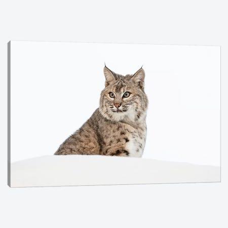 Bobcat in snow, Montana. Lynx Rufus Canvas Print #AJO45} by Adam Jones Art Print