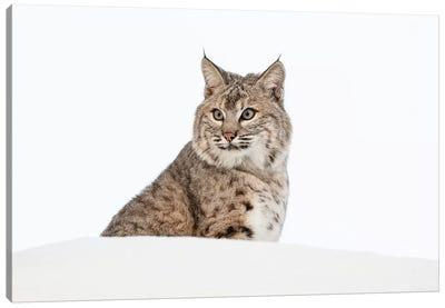 Bobcat in snow, Montana. Lynx Rufus Canvas Art Print