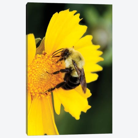 Carpenter Bee collecting nectar, Kentucky Canvas Print #AJO46} by Adam Jones Art Print