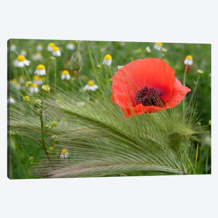 Lone Red Poppy, Tuscany Region, Italy Canvas Print #AJO4} by Adam Jones Canvas Wall Art