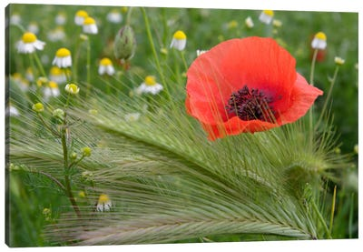 Lone Red Poppy, Tuscany Region, Italy Canvas Art Print