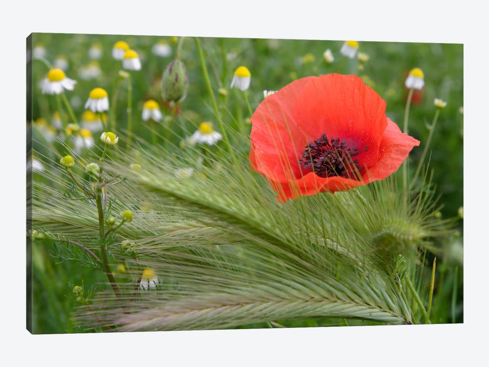 Lone Red Poppy, Tuscany Region, Italy by Adam Jones 1-piece Canvas Artwork