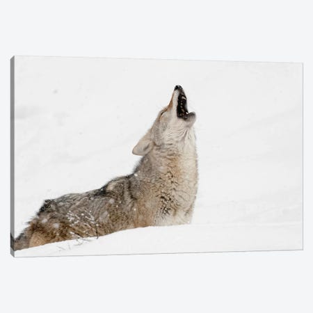 Coyote howling in snow, Montana Canvas Print #AJO52} by Adam Jones Canvas Art Print