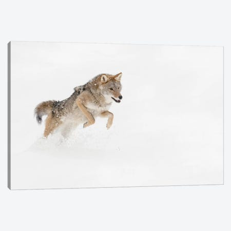 Coyote in snow, Montana I Canvas Print #AJO53} by Adam Jones Canvas Print
