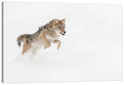 Coyote in snow, Montana I Canvas Art Print